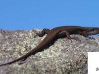 雌性石龙子储存精子以防干旱