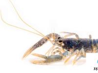 老化无法老化的 研究人员开发出老化龙虾的新方法