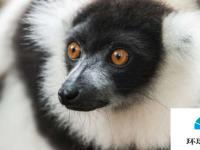 狐猴研究如何帮助濒危物种