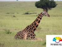 雄性长颈鹿比雌性更具有社会联系