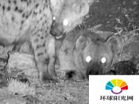 鬣狗食腐为非洲城市带来公共卫生和经济效益